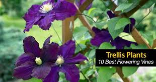 Flowering Vines What Are 10 Of The Best Trellis Plants