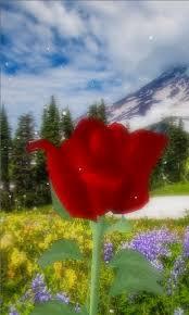 3d rose live wallpaper 88621jx
