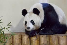Tian Tian (female giant panda) - Wikipedia