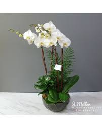 elegant white orchids in oakland ca j
