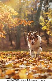 Pastor australiano, filhote cachorro, em, a, floresta outono Banco ...