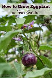 how to grow eggplant in your garden