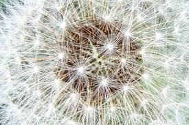 beautiful dandelion flower hermosa