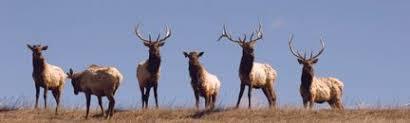 National Geographic Nebraska Elk Rear Window Decal Xxx100109 Series