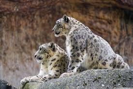 irbis predator snow leopard wallpaper