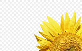 mon sunflower wallpaper png