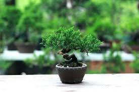 bonsai tree lowes odapenley co