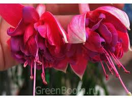 Фото: Fuchsia hybr. (Фуксия) / Ada Perry (Фуксии) :: Greenboom.ru