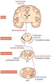 motor neuron susceptibility in als ftd