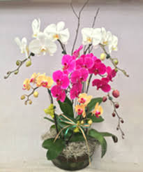 triple orchid basket for local