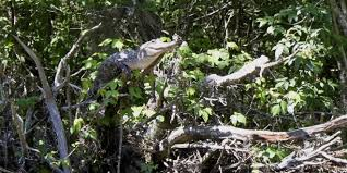 So Turns Out Crocodiles Can Climb Trees Wired