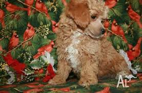 toy poodles perth