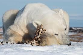 Churchill Tundra Buggy Vs Arctic Polar Bear Safari Arctic Kingdom