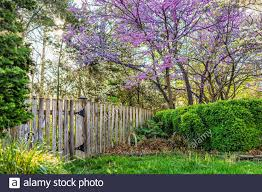 Idyllic Garden In Virginia With Wooden Fence Door Gate Entrance By Bushes And Redbud Pink Purple Spring Springtime Flowers On Tree And Sun In Sky With Stock Photo Alamy