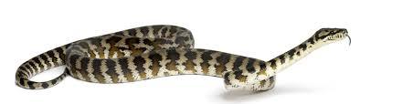 carpet python care morelia spilota