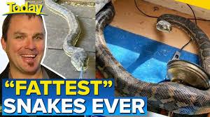 fighting snakes crash through aussie