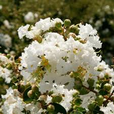 Southern Living Plant Collection 2 Gal. Early Bird White Crape ...