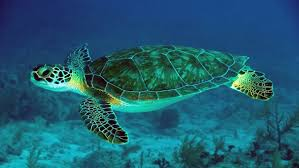 green sea turtle underwater scene hd