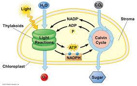 photosynthesis wikiversity