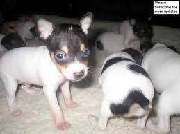 dog fox terrier puppy picture ideas