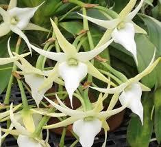 alamo orchid society of san antonio