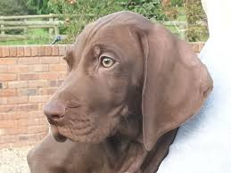 German Shorthaired Pointer Pups ...