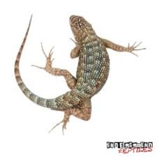 Western Fence Lizards For Sale Underground Reptiles