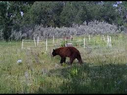 Electric Fence Vs Wildlife Bears And Polar Bears Youtube