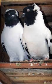 صور حمام وطيور جميلة 2020 اجمل خلفيات طيور جميلة بالوان غريبة