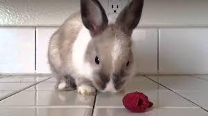 Funny Rabbit Eating Strawberries ارنب مضحك Youtube