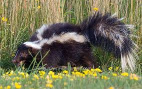 Skunk Control Trapping Skunks