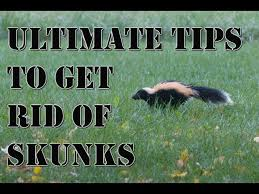 Learn How To Get Rid Of Skunks Fast Best Repellent For Getting Rid Of Skunks How To Repel Pests Youtube
