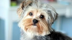 yorkshire terrier wallpaper 48813