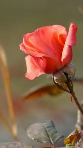 flowers rose leaves nature wallpapers
