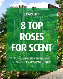8 top roses for scent gardening tips
