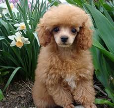 kittle s klic poodles