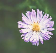 the unique meaning of aster flowers