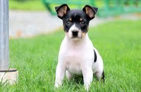 fox terrier puppies puppy