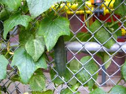 Cucumber Growing On Fence Cucumber Plant Chain Link Fence School Garden