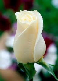 single rose image white rose wallpapers