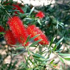 Callistemon Kings Park Special Bottlebrush Australian Plants Online