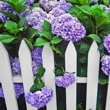 Purple Hydrangea White Picket Fence Gate Katie Considers