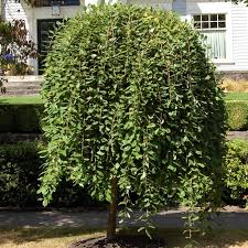 potted dwarf weeping willow trees on