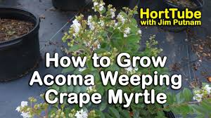 How to grow Acoma Crape Myrtle (Weeping White Flowering Crape ...