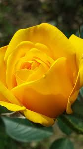 yellow rose iphone wallpapers top