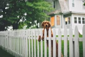 Golden Retriever Animals White Picket Fence Guard Dogs
