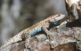 Fence Lizard Surprisingly Alive Well In Poconos News Poconorecord Com Stroudsburg Pa