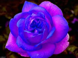 صور ورد جوري ملون اللغه الصريحه للحب الورد الجورى رسائل حب