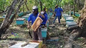 panen raya madu lebah rumput liar di desa mojodesa kapas