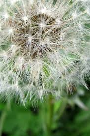 dandelion flower nature summer live from the heart quotes